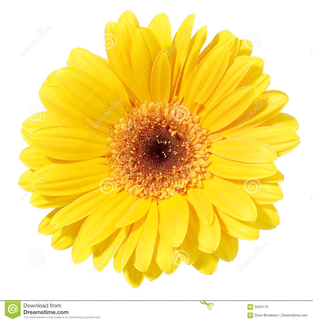 Download Yellow Gerbera Flower stock image. Image of beauty, clean - 3434173