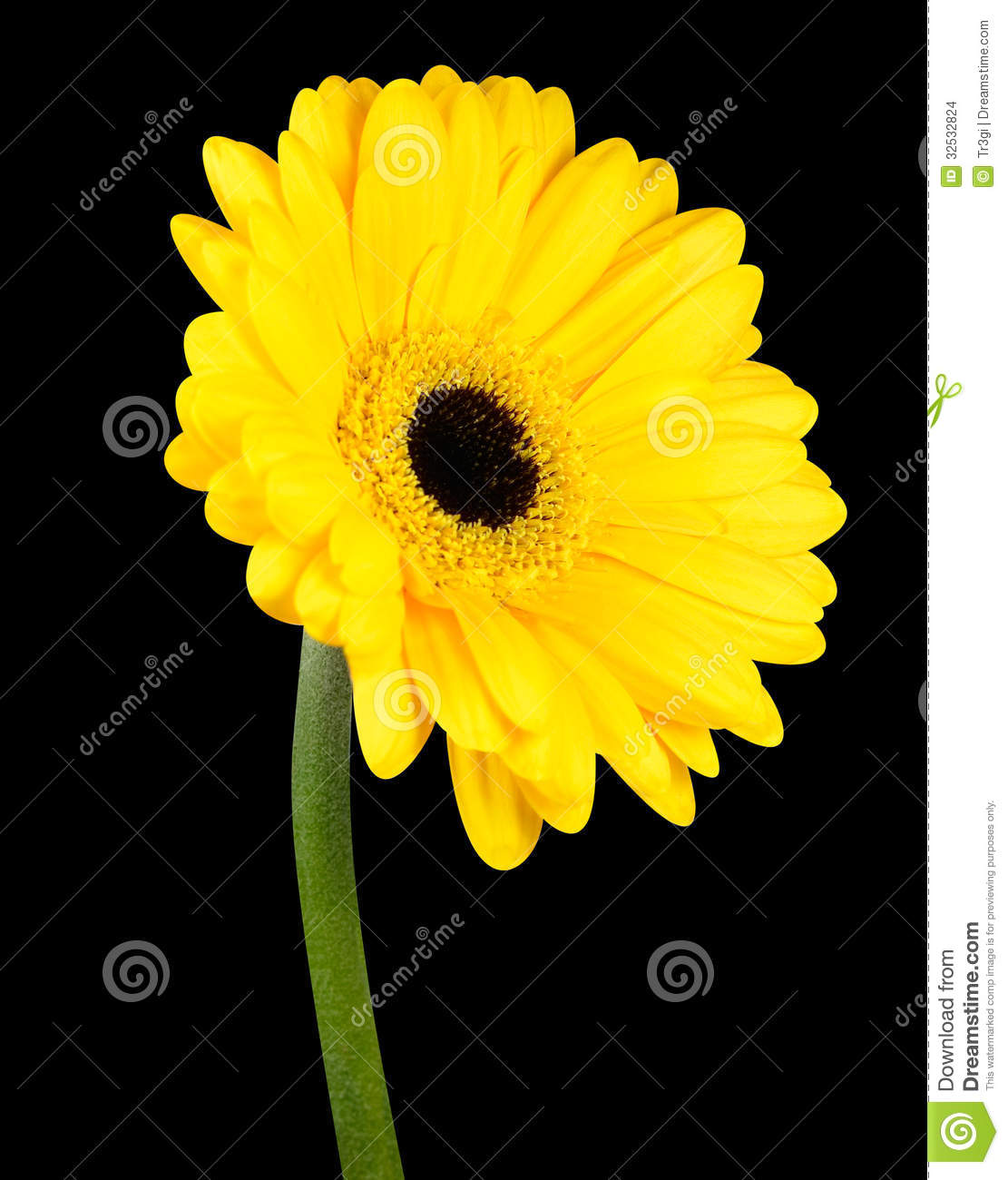 Yellow gerbera flower with green stem isolated stock photo image yellow gerbera flower with green stem isolated on black background mightylinksfo