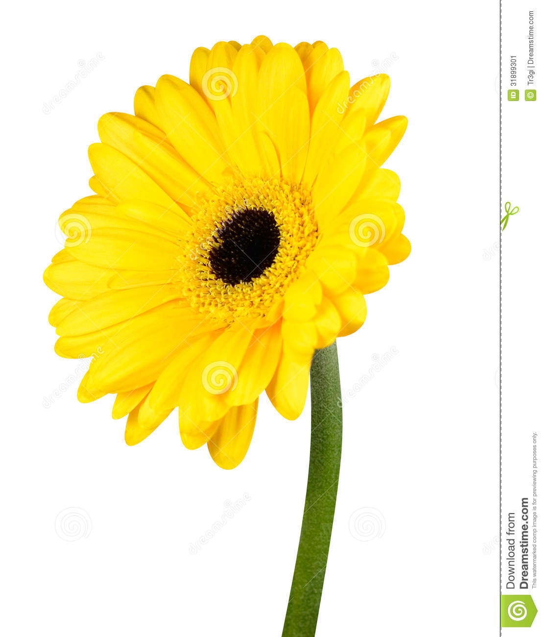 Yellow Gerbera Flower With Green Stem Isolated Stock Image ...