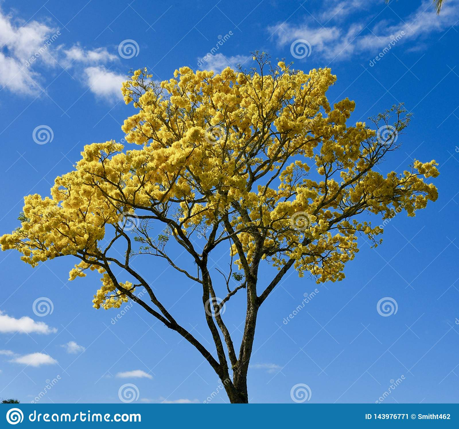 Yellow Golden Shower tree bloom on Hawaii Island