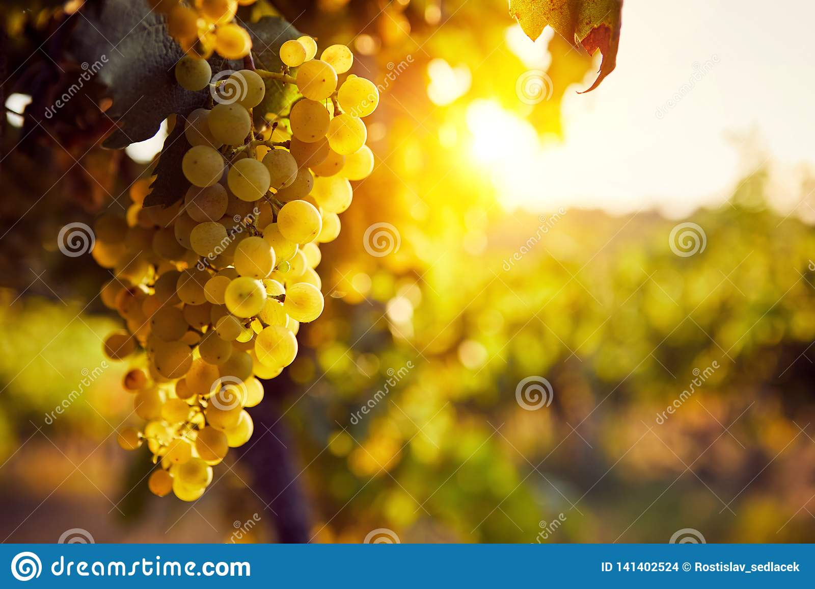 The yellow grapes on a vineyard with sunlight