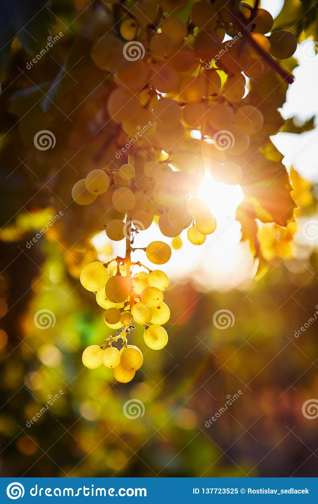 Yellow grapes in a vineyard at sunrise, with sun rays in the background