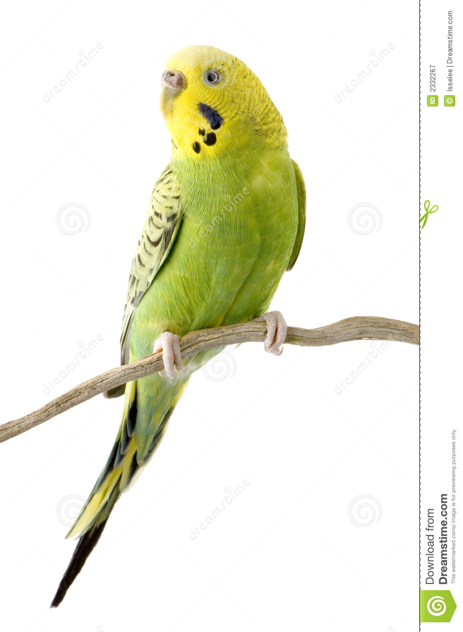 Yellow And Green Living Room Decor: Yellow And Green Budgie Stock Image. Image Of Animal, Wing