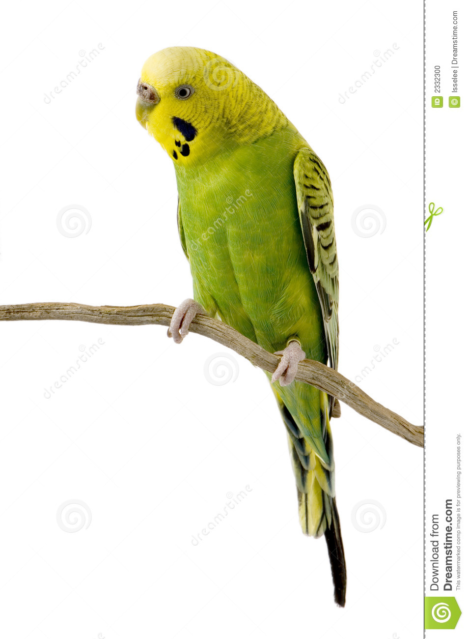 Yellow And Green Living Room Decor: Yellow And Green Budgie Stock Photo. Image Of Animal