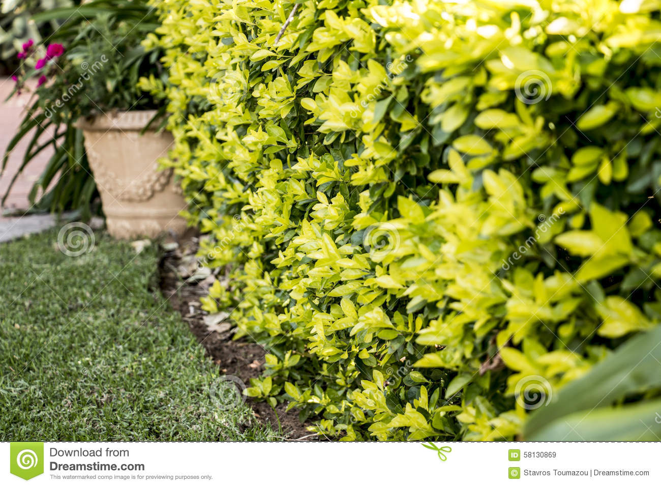 Yellow green hedge stock photo image 58130869 for Arbustos ornamentales para jardin