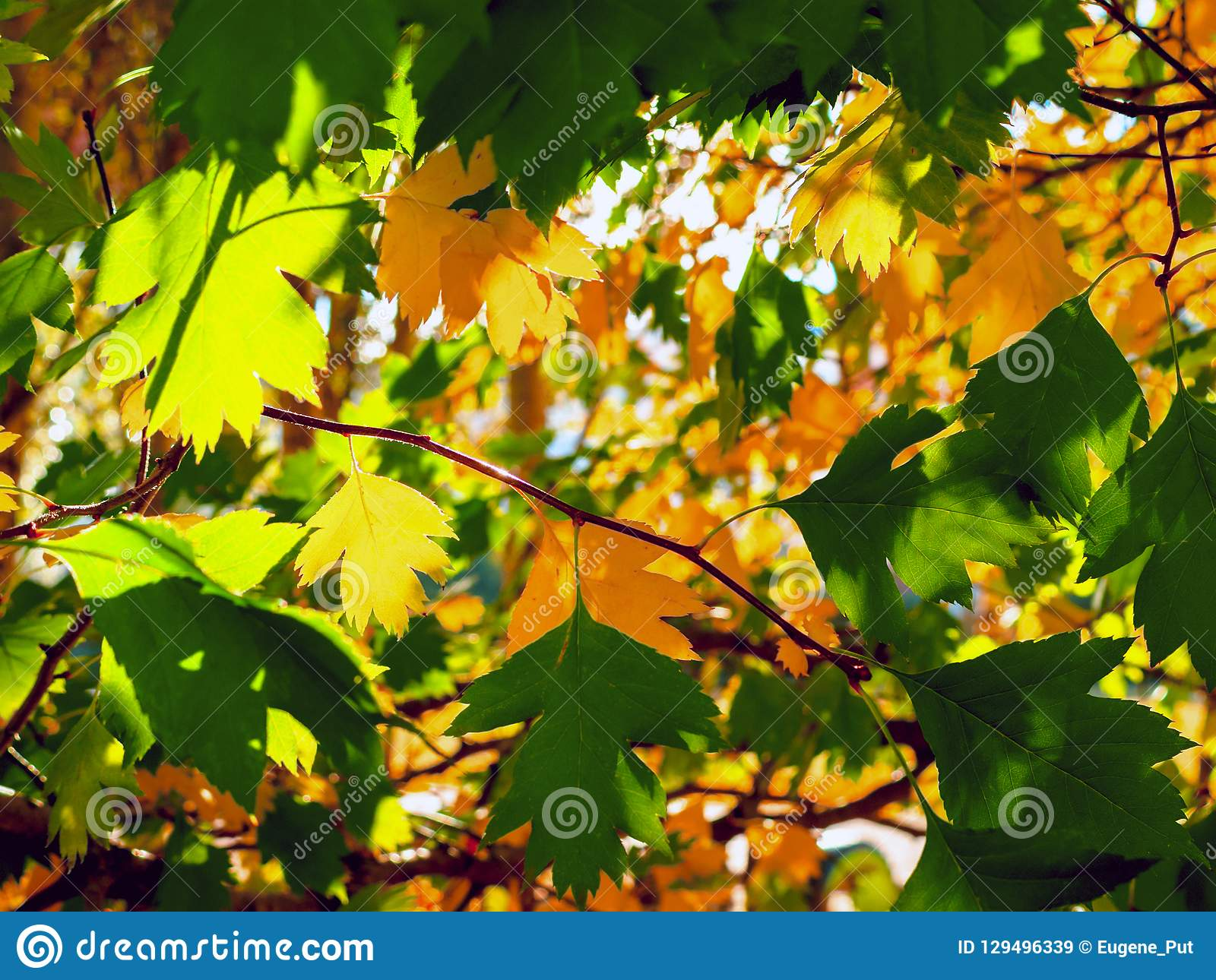Yellow And Green Leaves Lit By The Sun Rays. Colorful Background. Autumn Golden Foliage