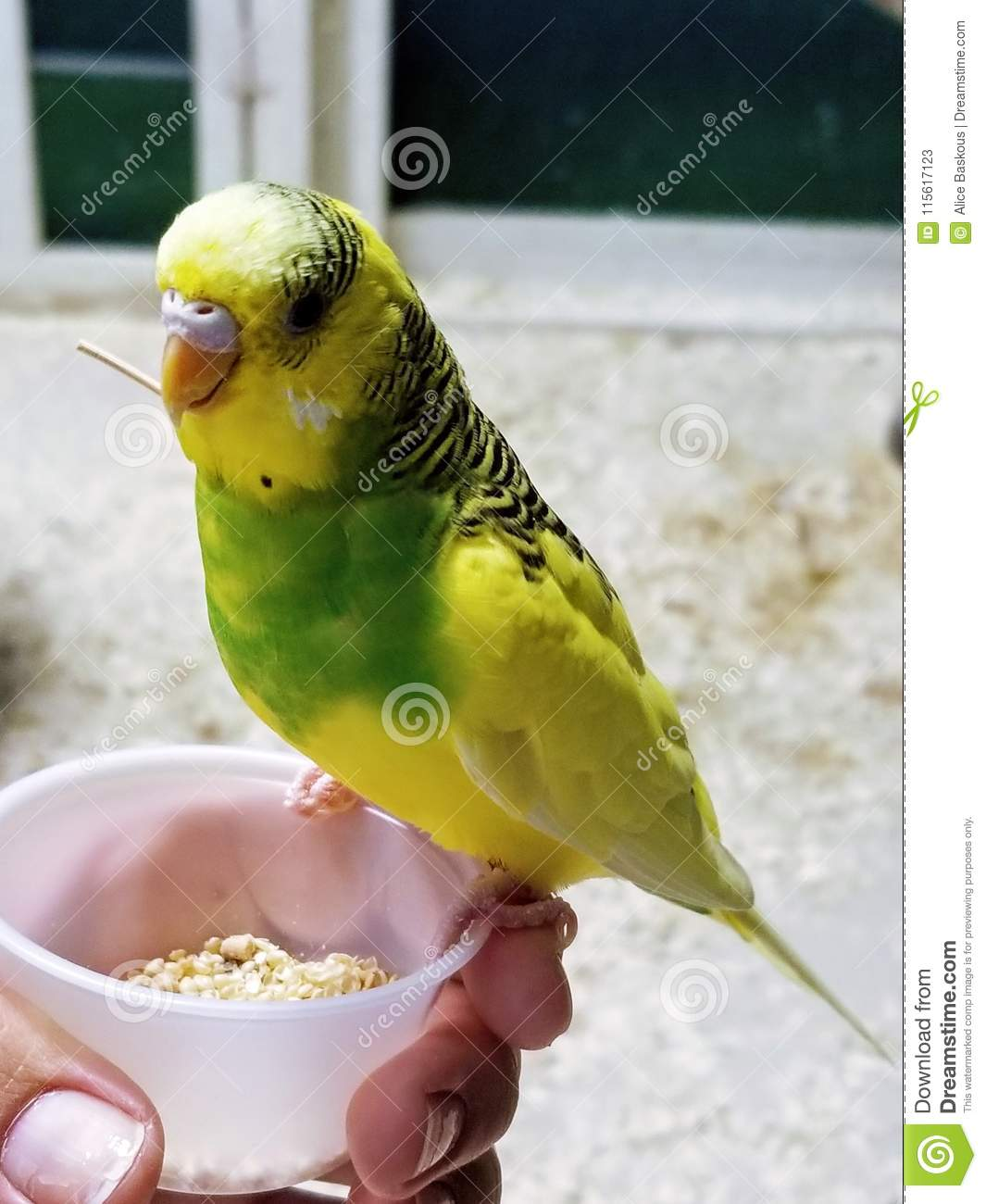 Yellow And Green Parakeet And Seeds Stock Image - Image of