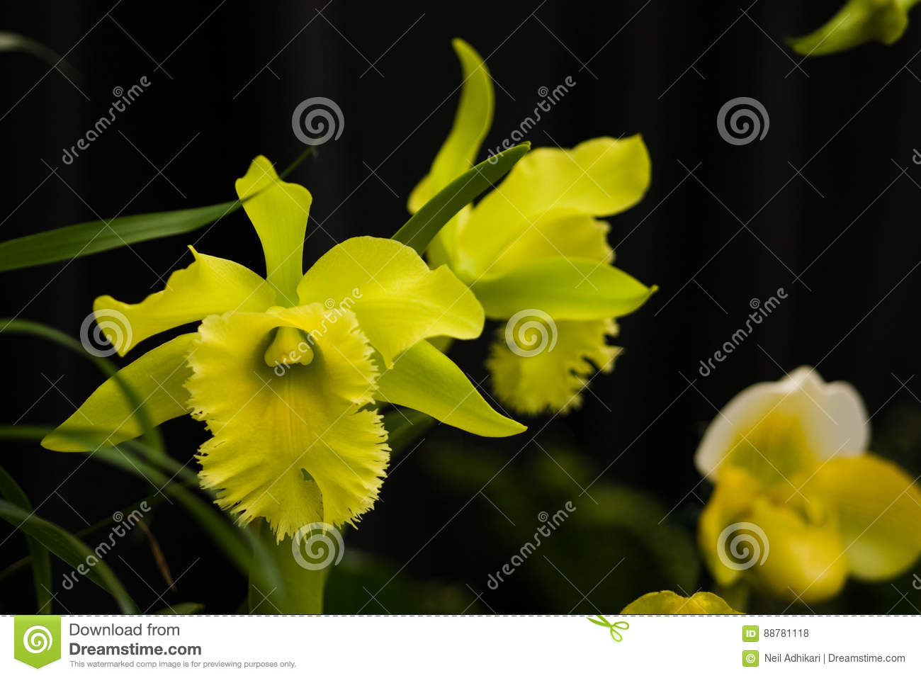 Yellow Green Showy Rare Orchid Flowers Stock Photo Image Of Plants