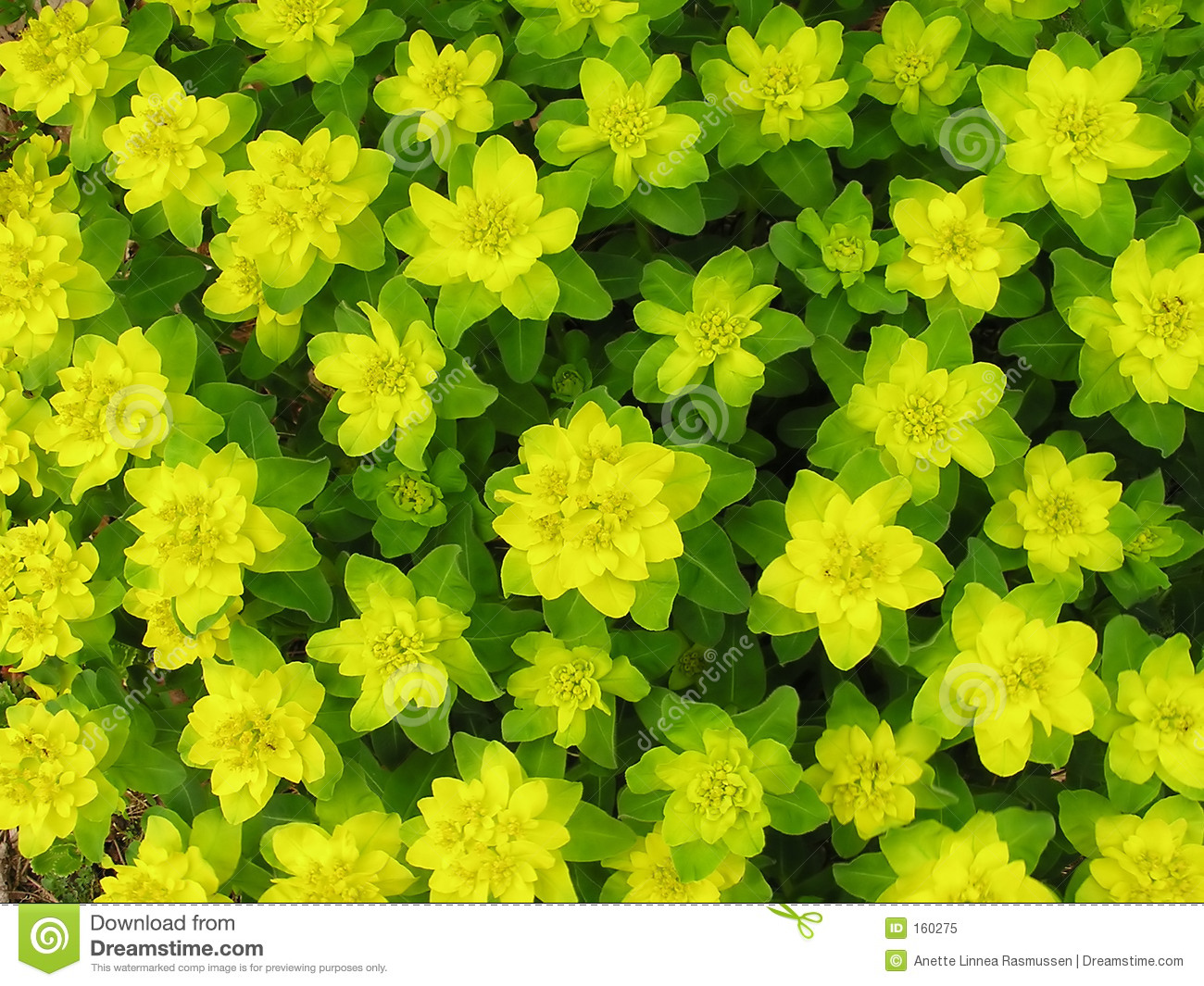 Yellow green spurge