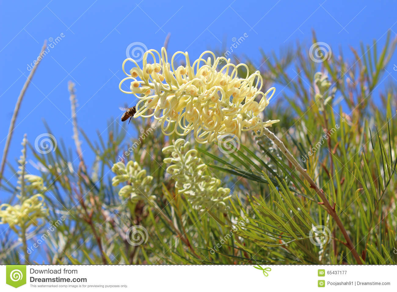 Yellow grevillea flowers with a bee stock image image of flying download yellow grevillea flowers with a bee stock image image of flying yellow mightylinksfo
