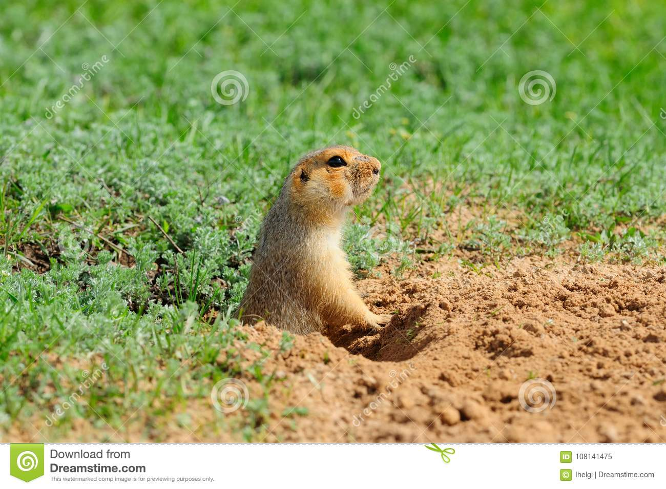 The yellow ground squirrel Spermophilus fulvus gets out of the hole.