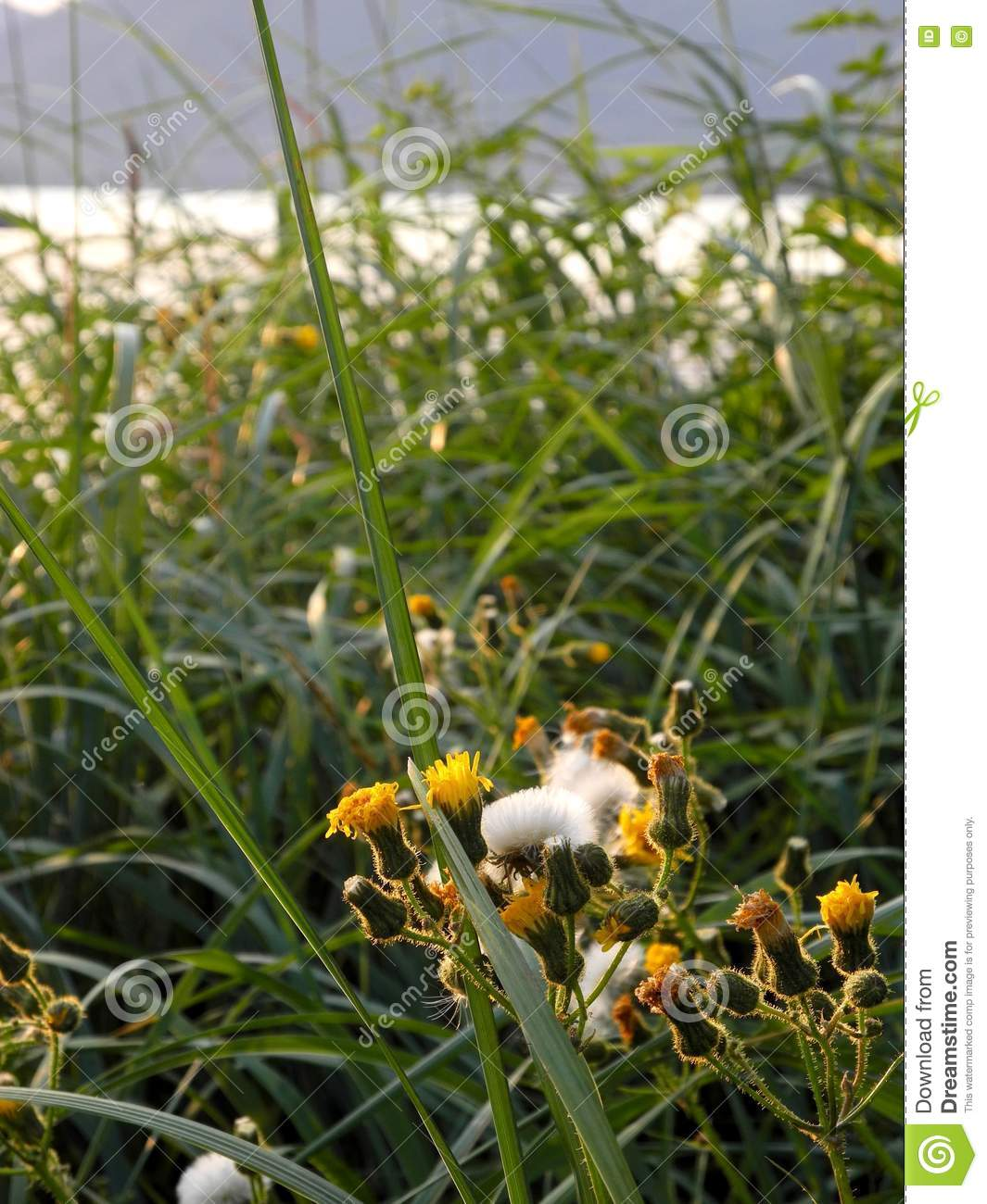 Yellow Gum Weed Flowers And Beach Grass Stock Photo Image Of