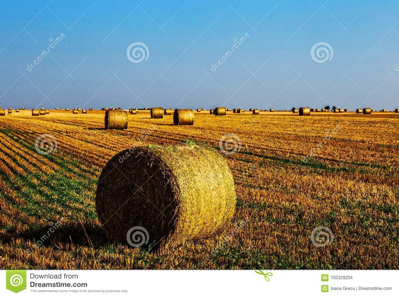 Yellow harvested wheat ballots in field