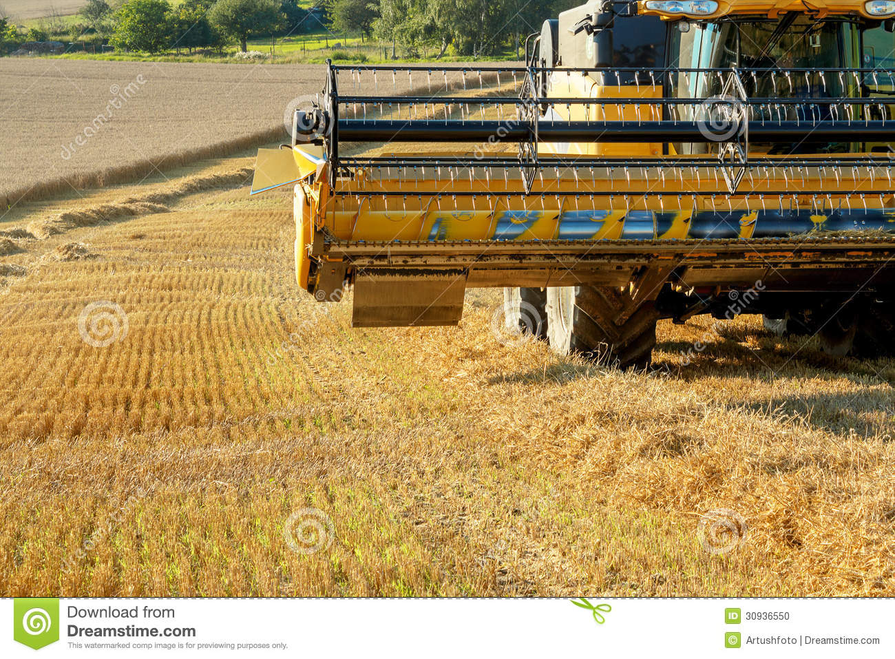 Yellow Harvester Combine On Field Harvesting Gold Wheat ...