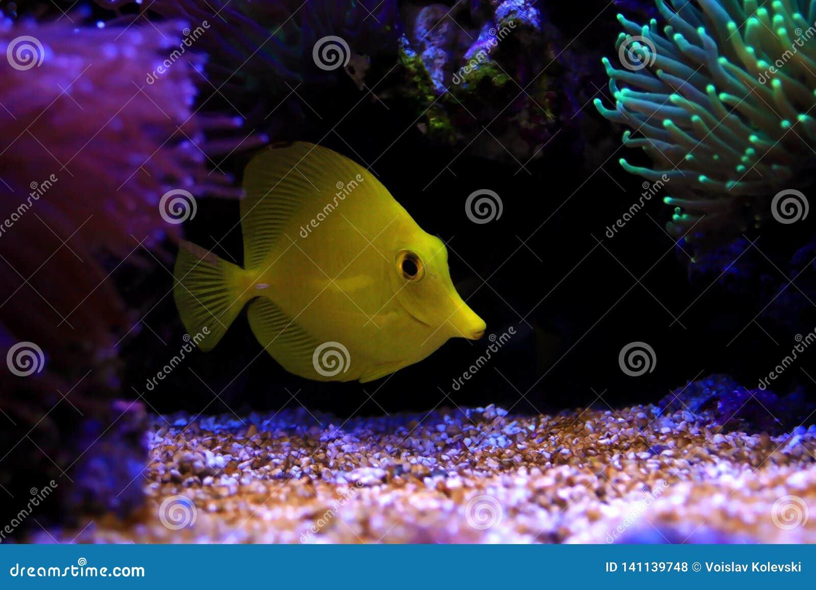 The Yellow Hawaiian Tang - Zebrasoma Flavescens Stock Photo