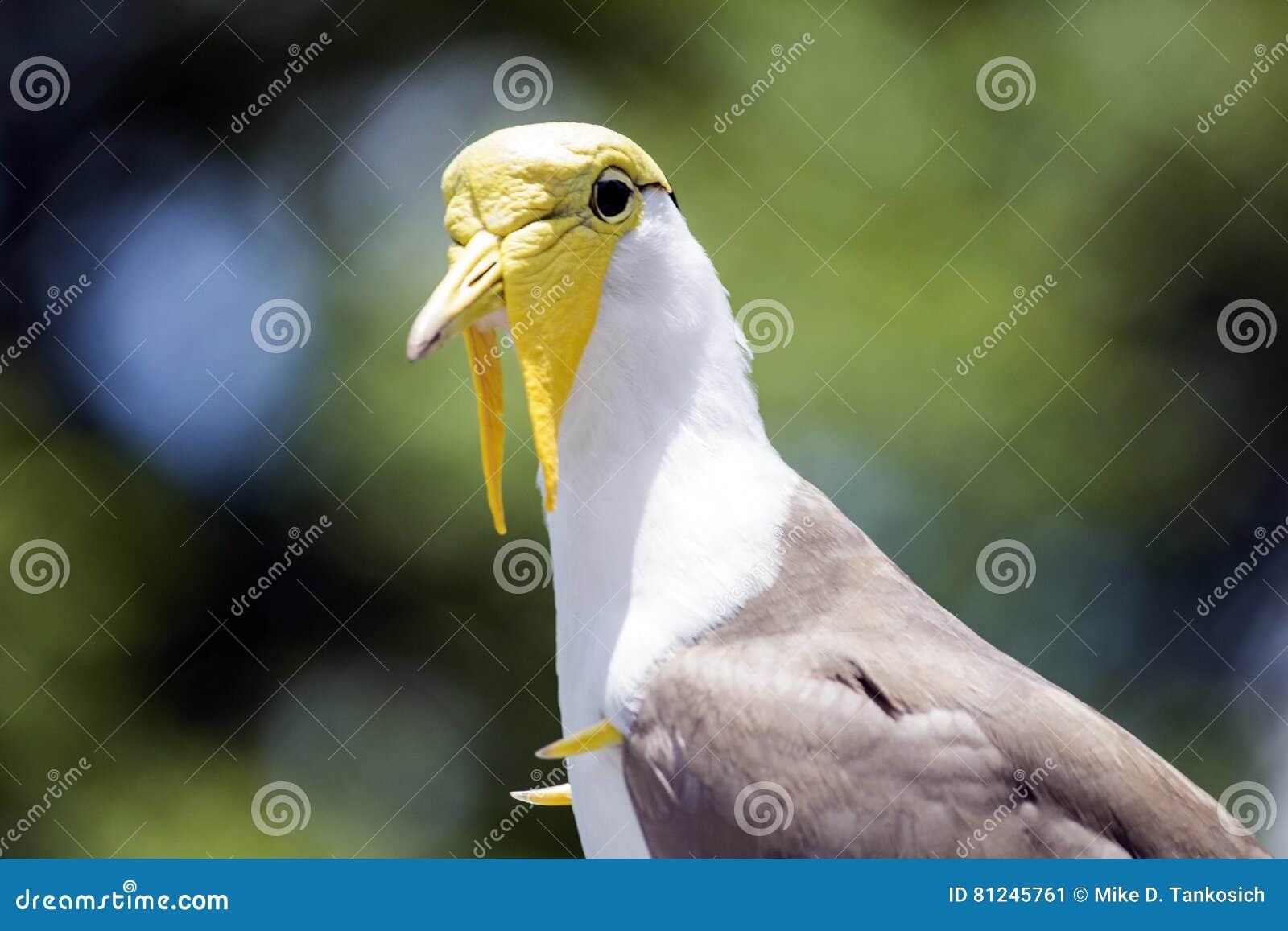 yellow head masked lapwing bird left stock image image of large