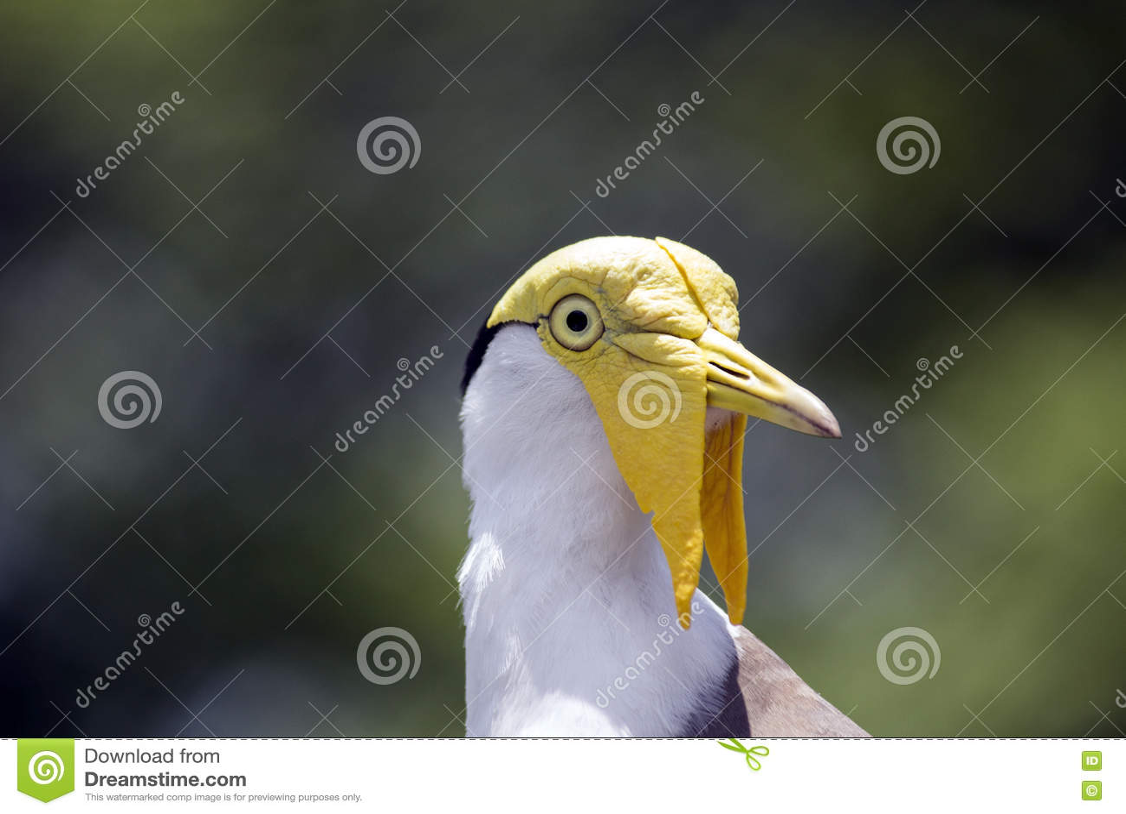 yellow head masked lapwing bird right stock image image of aviary