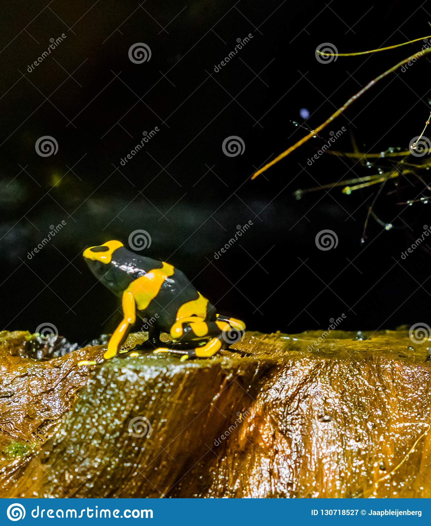 Yellow Headed Bee Poison Dart Frog A Extreme Dangerous Poisonous