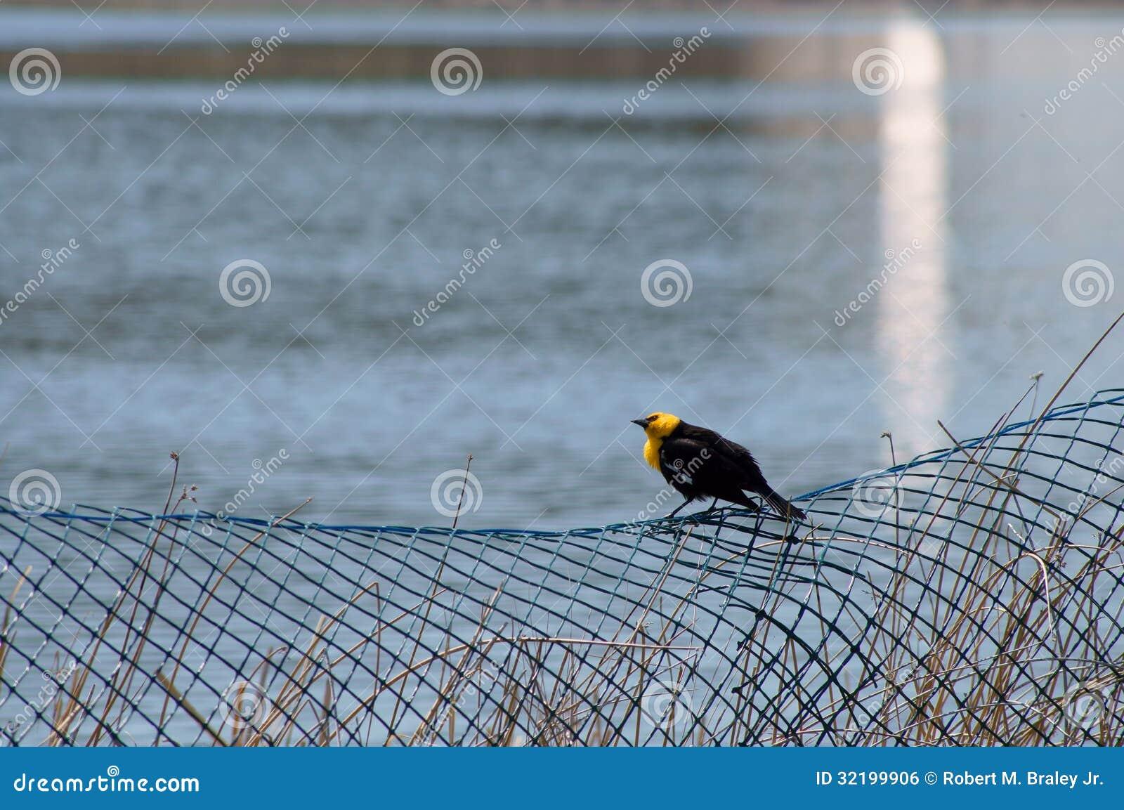 Yellow-headed Blackbird Xanthocephalus xanthocepha