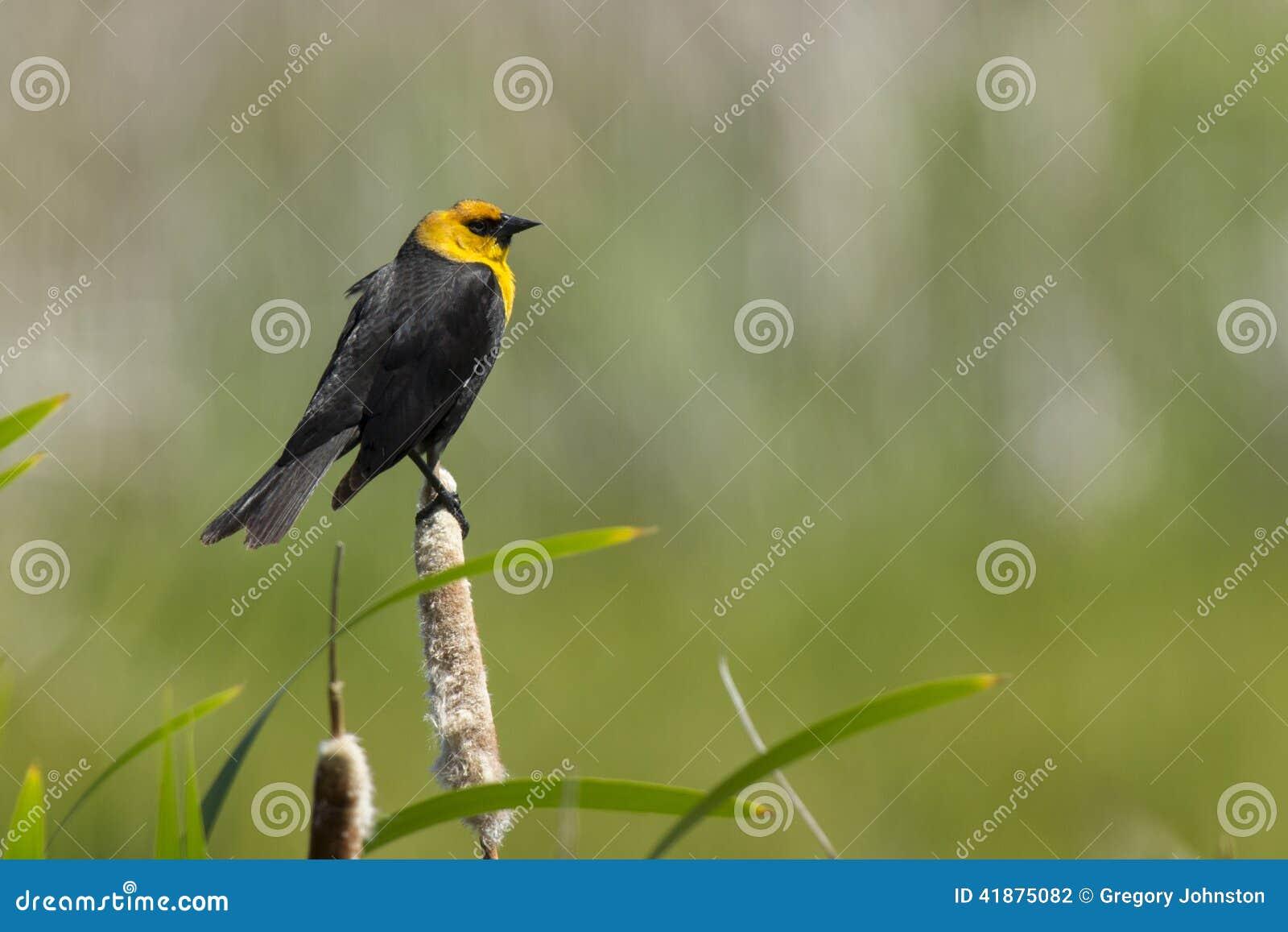 Yellow Headed Blackbird Range Yellow headed blackbird