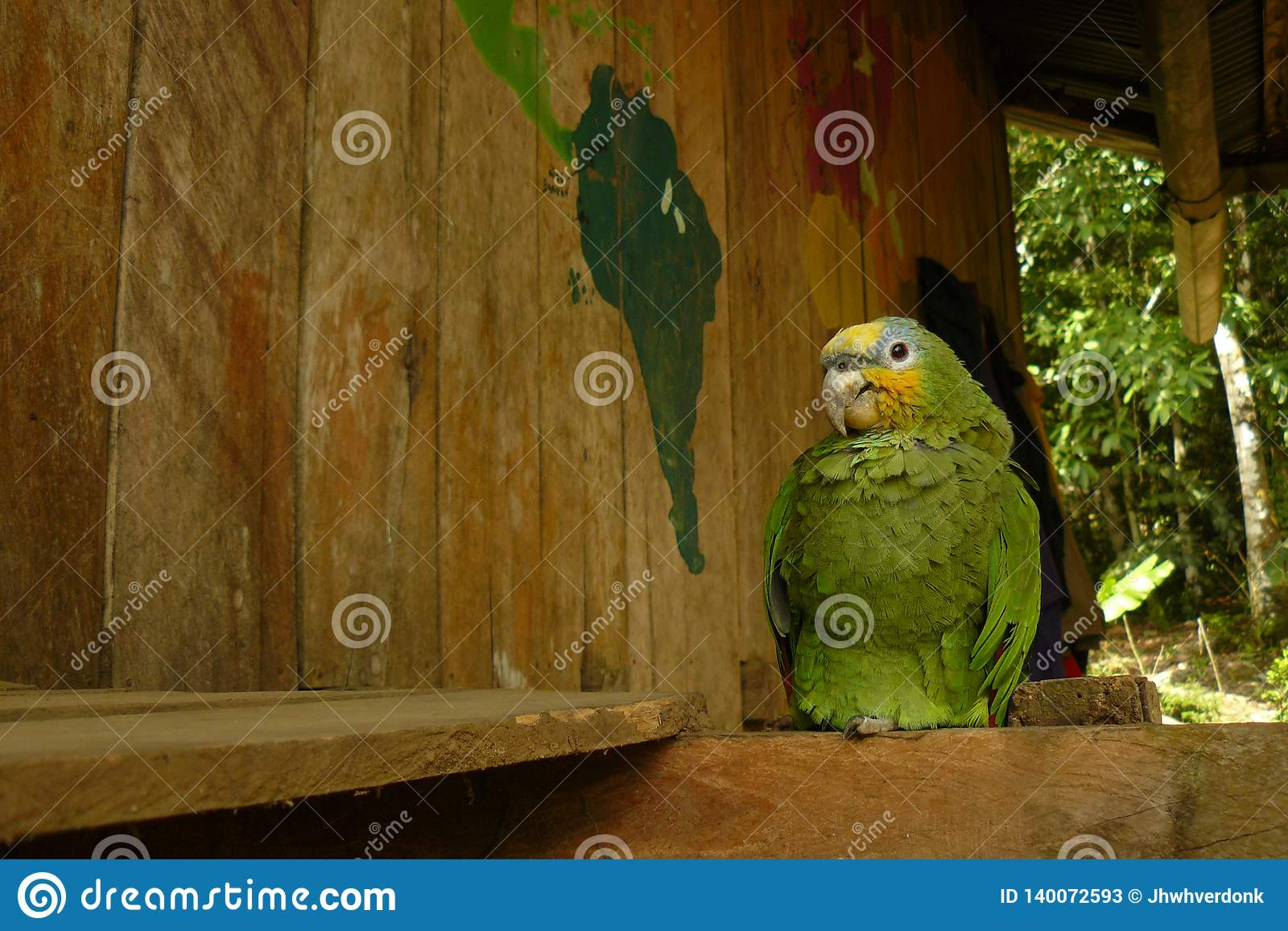 A yellow headed parrot perched down in a wooden house in the jungle next to a map of the world