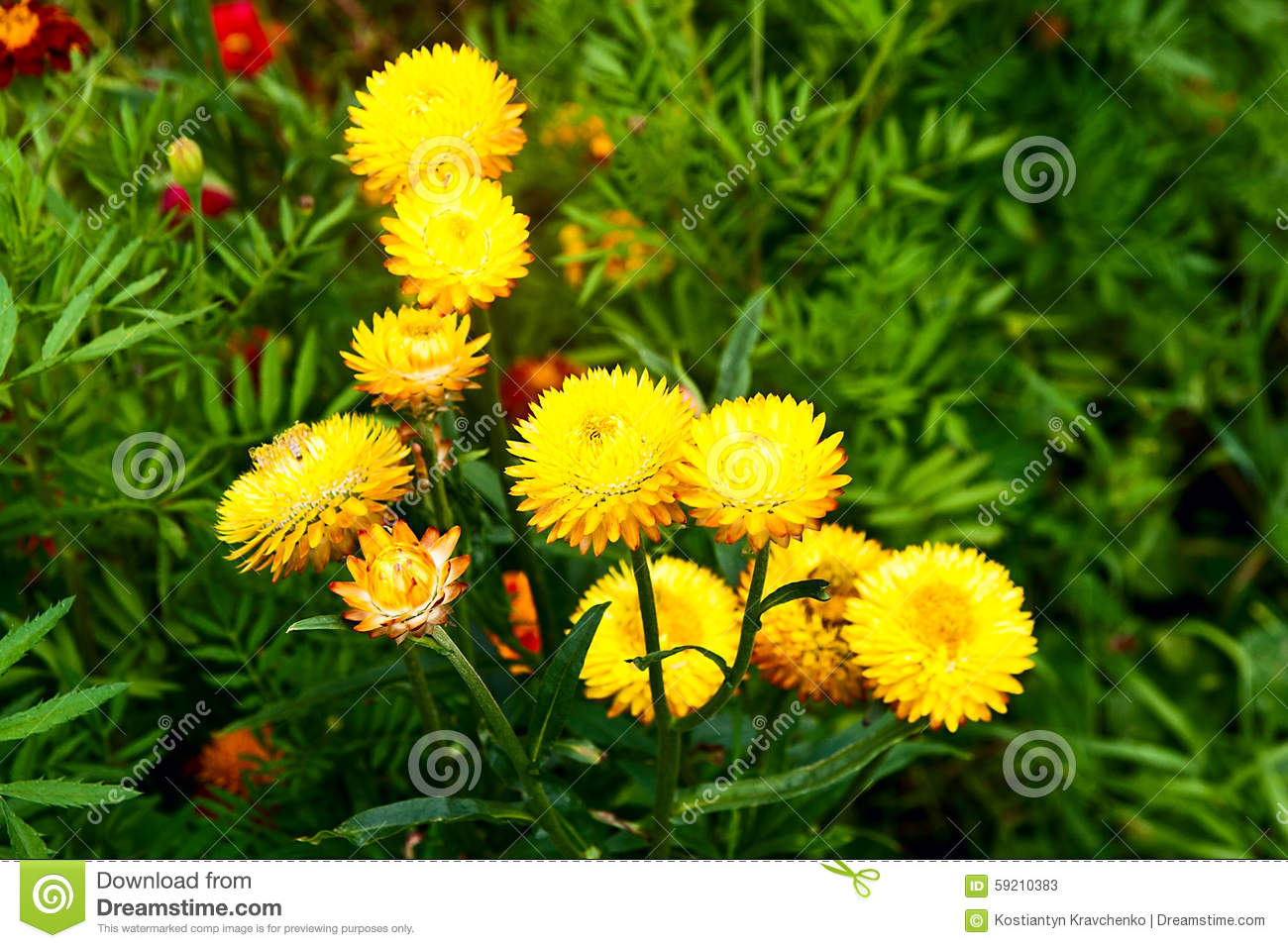 Garden flowers names - Excellent Yellow Helichrysum Paper Daisy Straw Flower Stock Photo Image With Garden Flower Names And Picture