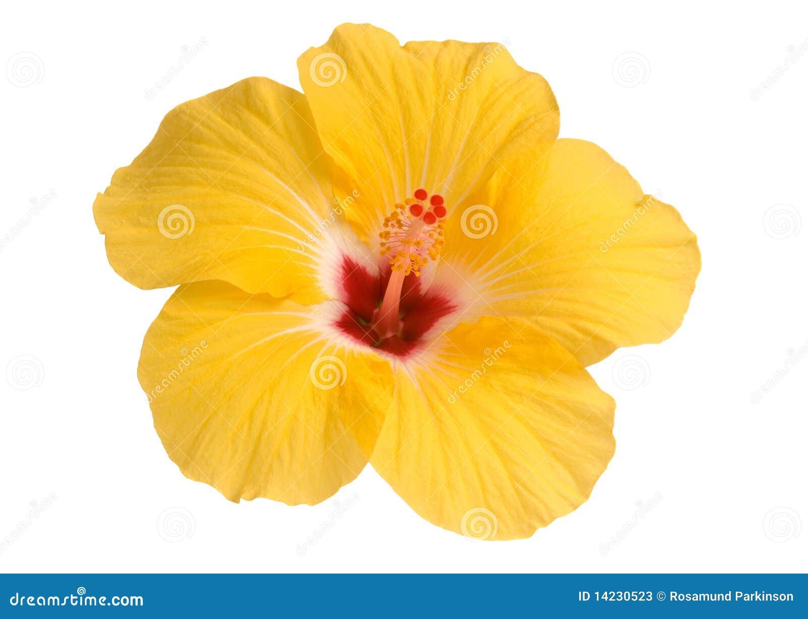 Yellow Hibiscus Stock Photos - Image: 14230523