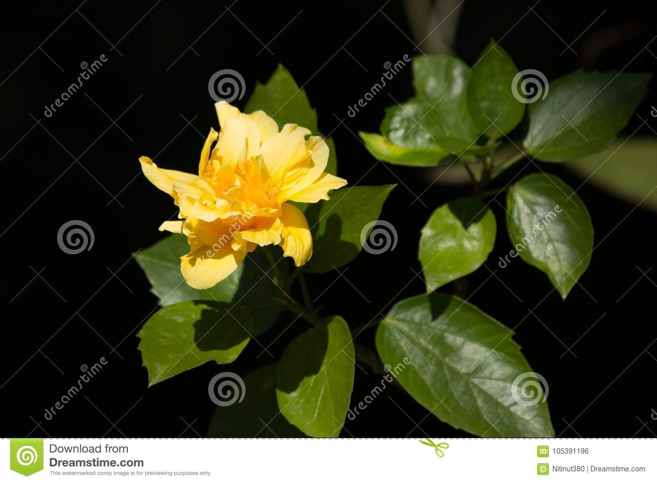 Yellow hibiscus flower in black dard background stock photo image download yellow hibiscus flower in black dard background stock photo image of macro green izmirmasajfo