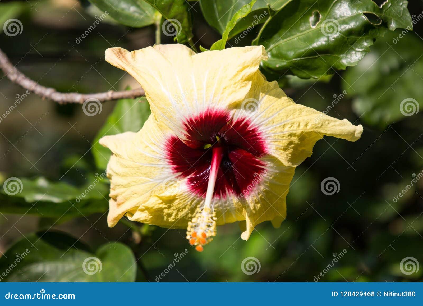 Yellow Hibiscus Flower In Black Dard Background Stock Photo Image