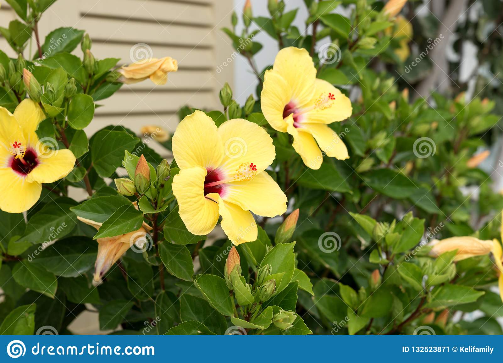 Yellow Hibiscus Flower In Blossom On Green Bush Stock Image Image