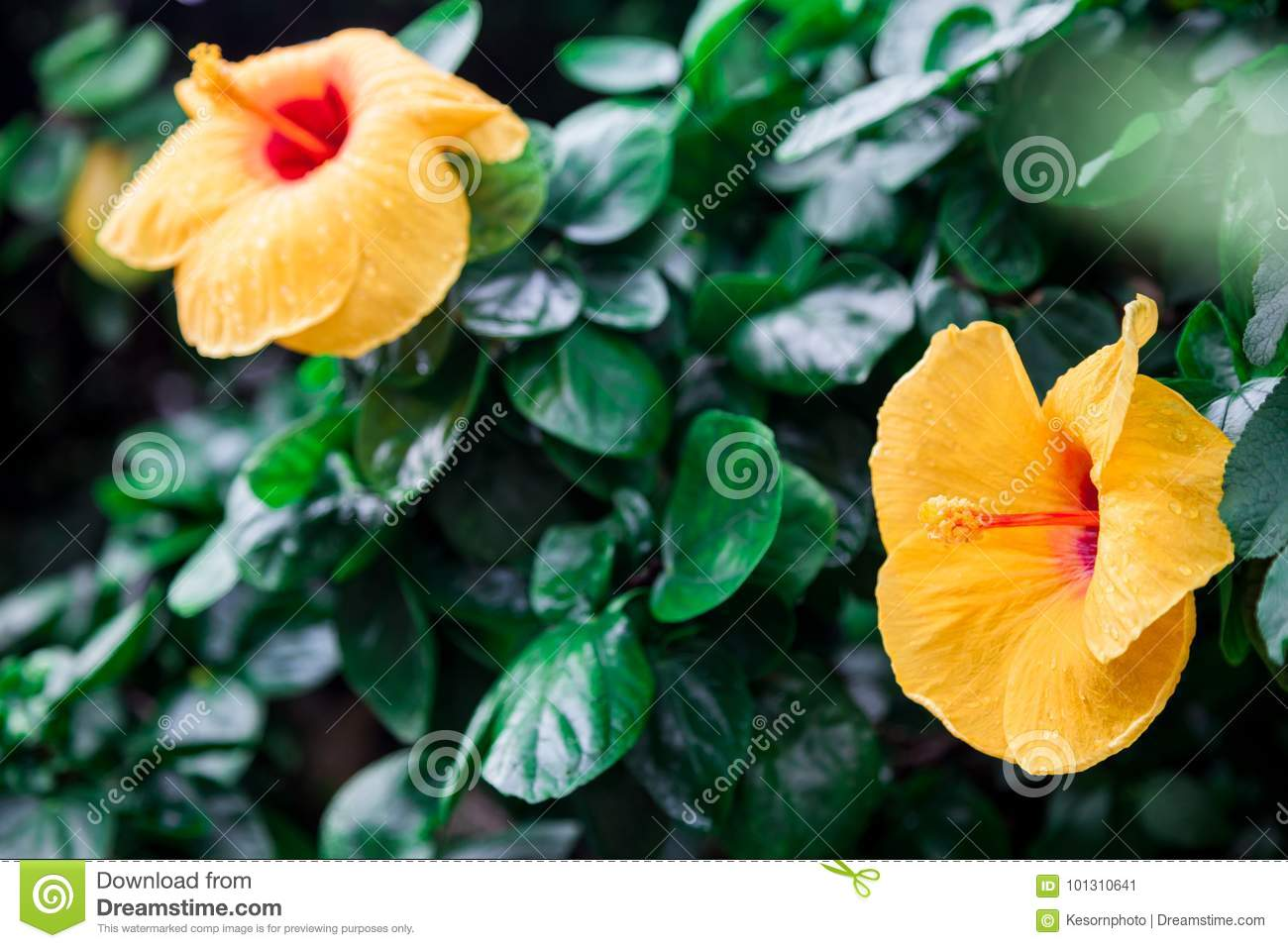 Yellow Hibiscus Flower With Dew On The Petals Stock Image Image Of