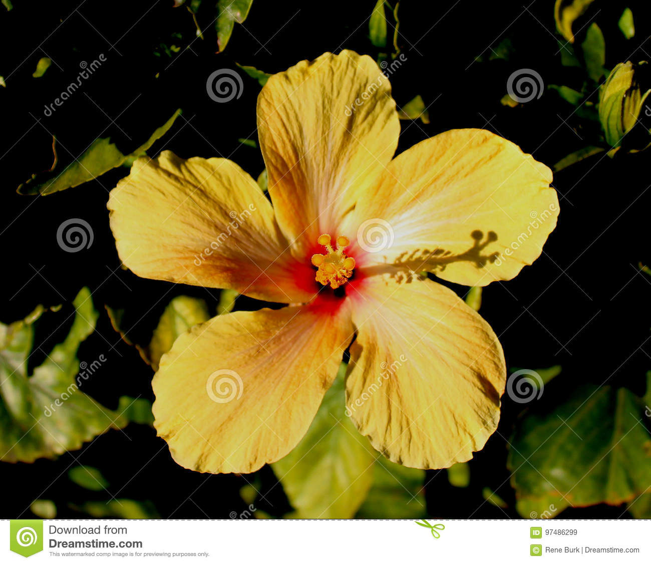 Yellow hibiscus flower stock image image of yellow mallow 97486299 yellow hibiscus flower izmirmasajfo