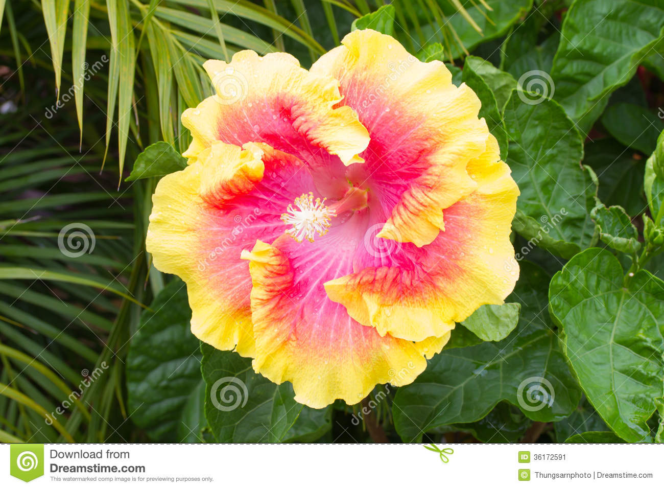 Yellow And Pink Hibiscus Flower Comousar