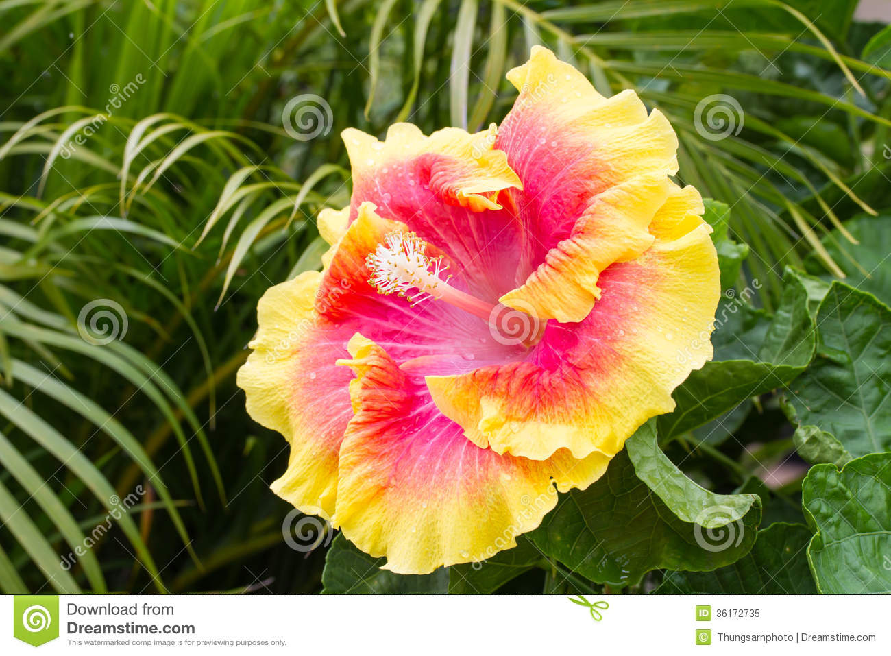 Yellow hibiscus flower with pink color in center stock image image yellow hibiscus flower with pink color in center royalty free stock photo mightylinksfo