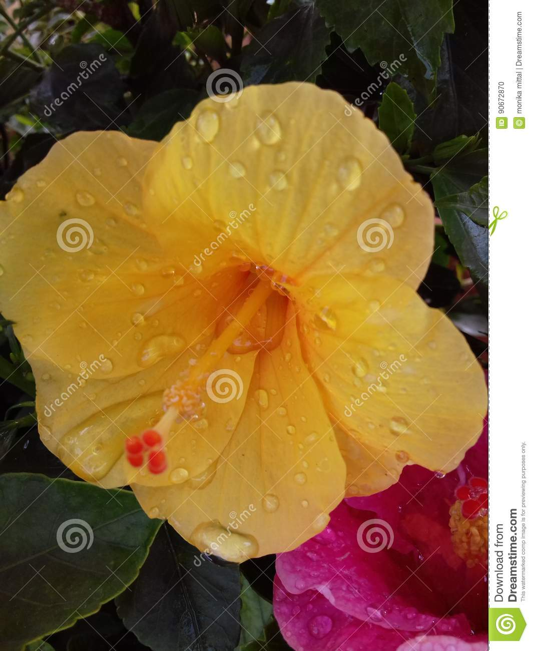 Yellow Hibiscus Flower With Water Droplets Stock Photo Image Of