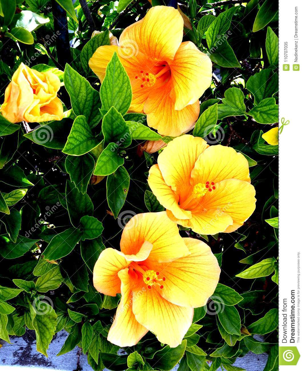 Yellow Hibiscus Flowers Close Up Beautiful Daylight Picture Stock