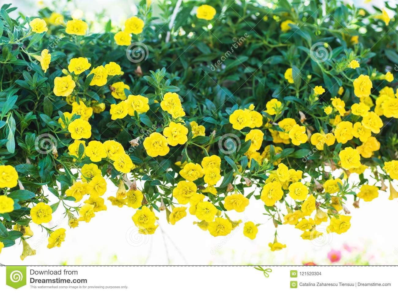 Patio Hybrid Petunia With Small Yellow Flowers In A Suspended Pot