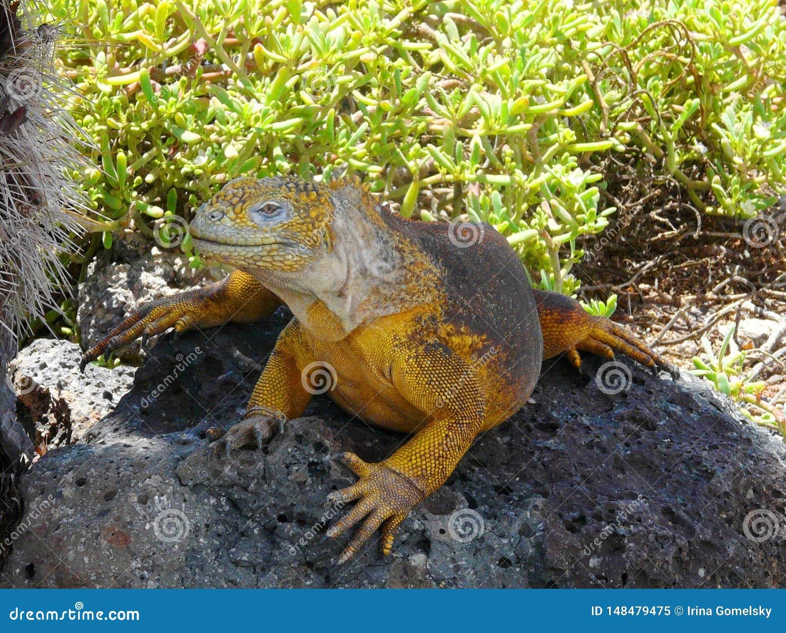 Yellow Iguana sitting on a stone, Galapagos Islands, Ecuador