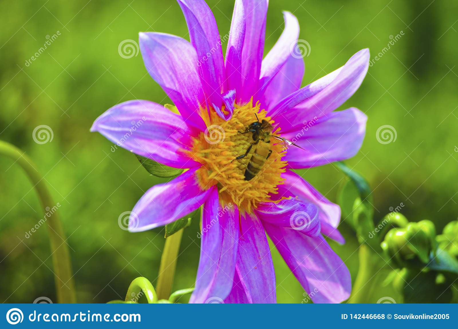 Yellow Insect on a violet flower with green isolated background
