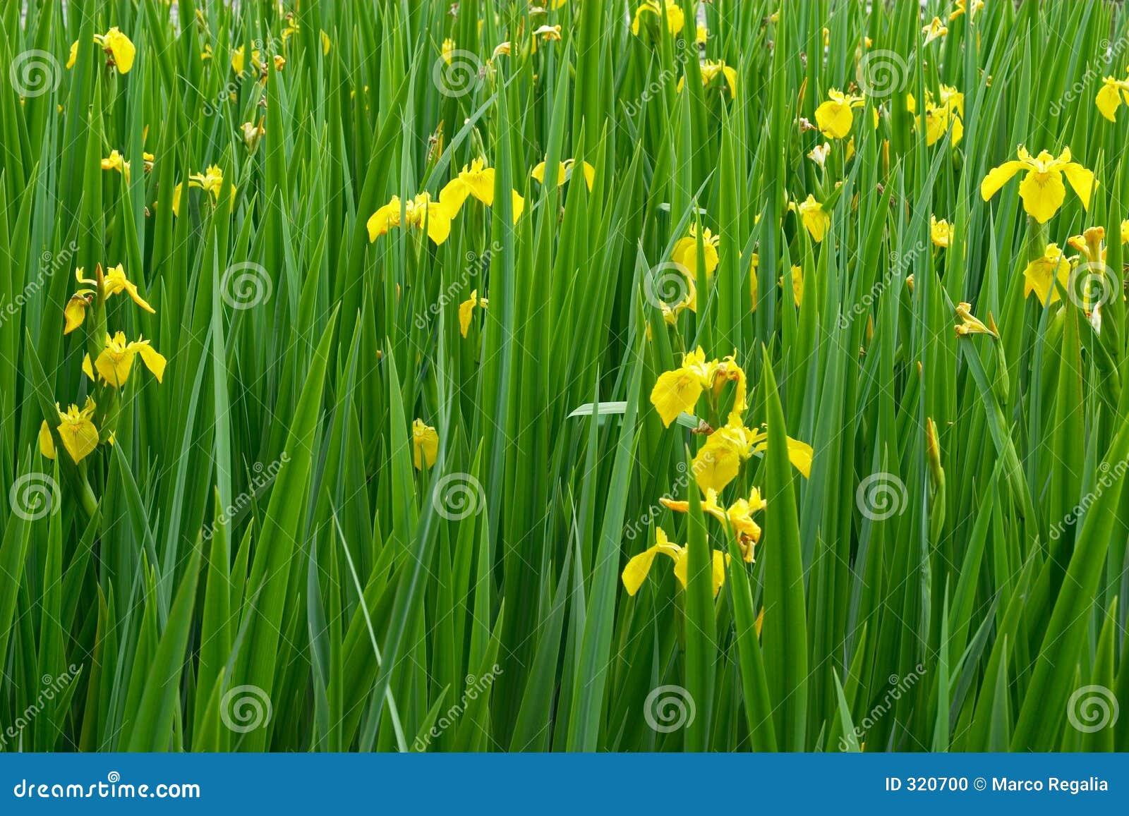 yellow iris flowers in bloom stock photo  image, Beautiful flower