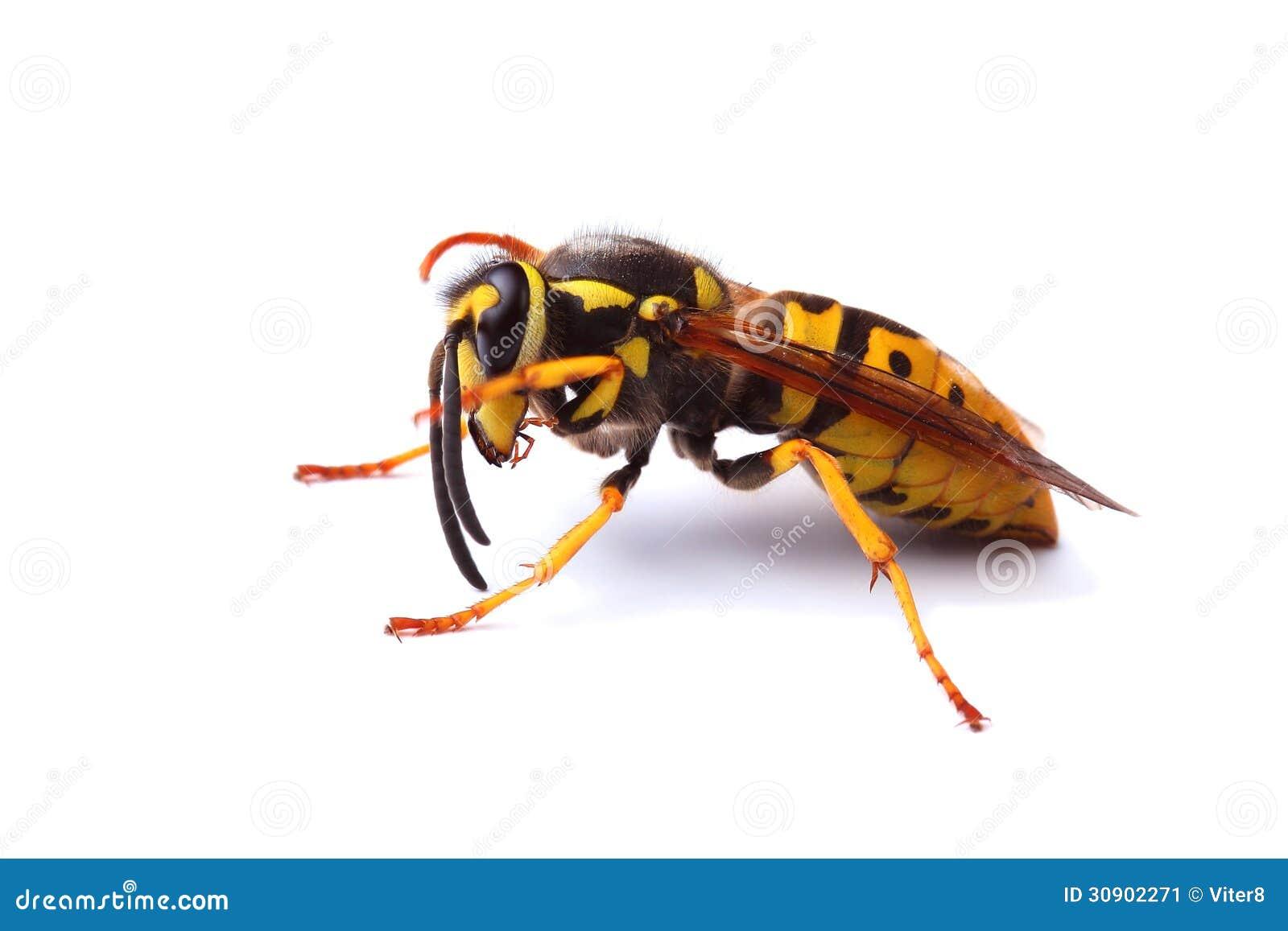 Wasp: Wasp Yellow Jacket