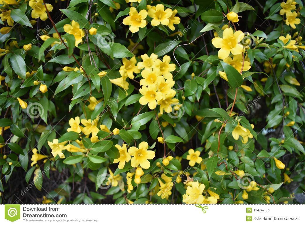 Yellow jasmine in east texas stock image image of green jasmine yellow jasmine in east texas izmirmasajfo