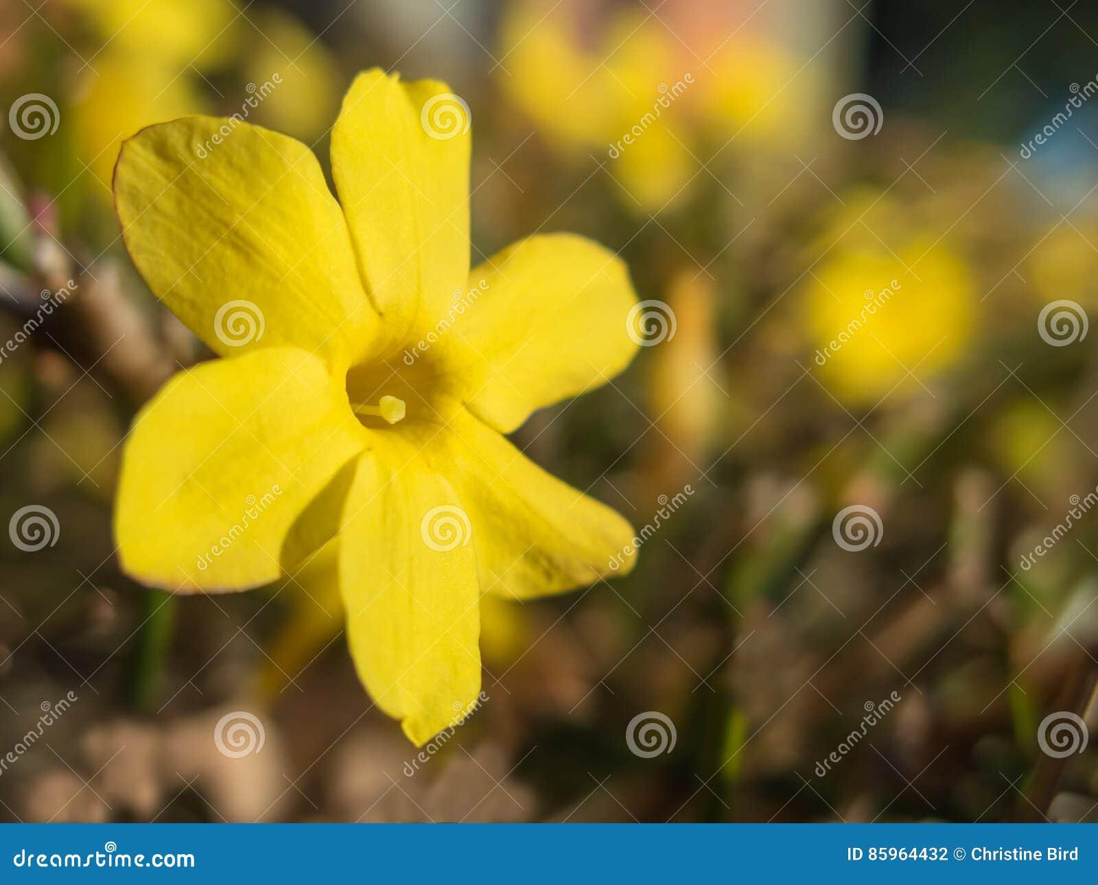 Yellow Jasmine Flower Stock Photo Image Of Yellow Macro 85964432