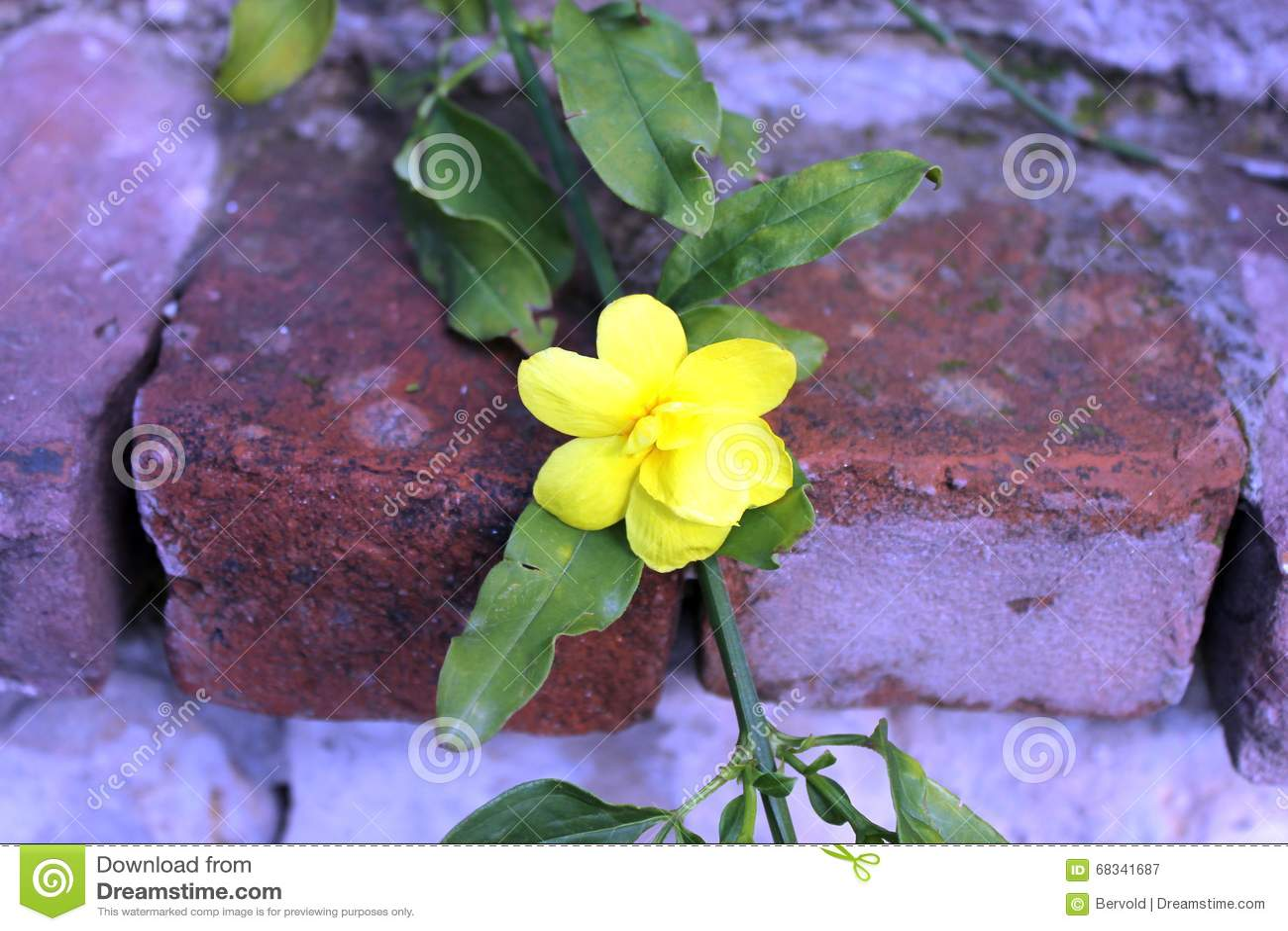 Yellow Jasmine Gelsemium Sempervirens Flowers Stock Image Image Of