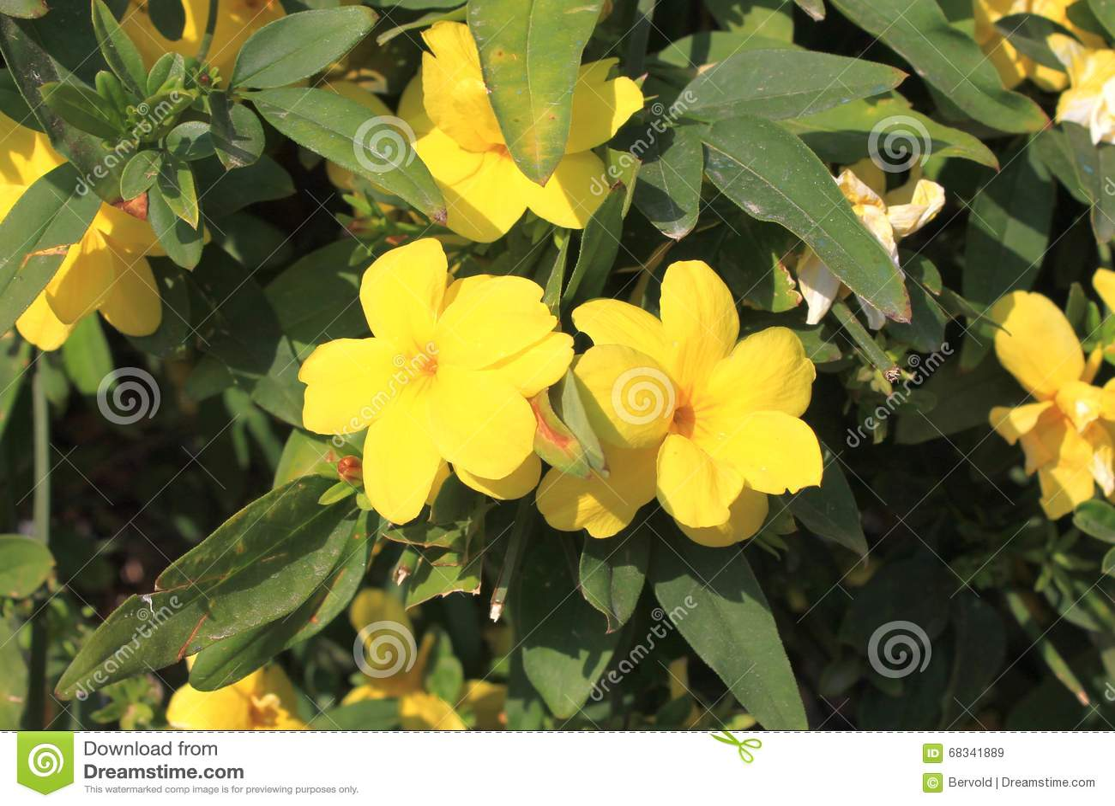 Yellow jasmine gelsemium sempervirens flowers stock image image of royalty free stock photo download yellow jasmine gelsemium sempervirens flowers stock image izmirmasajfo Images