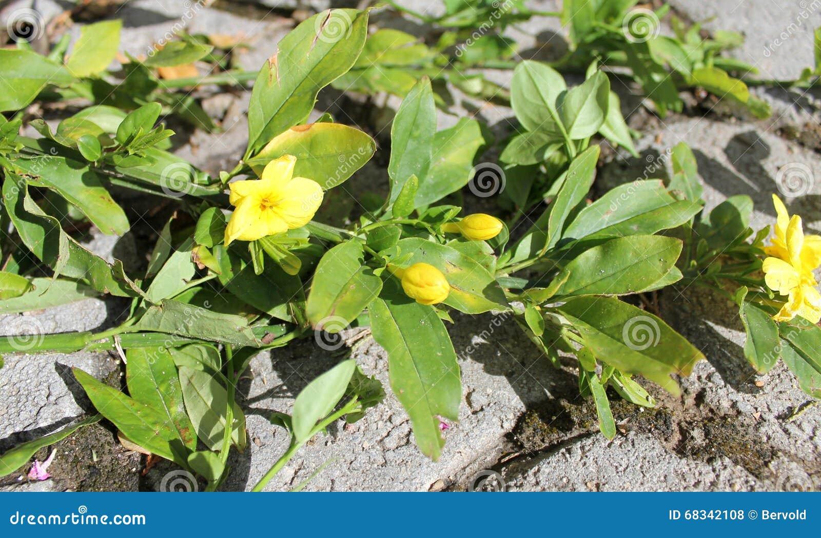 Yellow jasmine gelsemium sempervirens flowers stock photo image of yellow jasmine gelsemium sempervirens flowers recreation plant izmirmasajfo Images