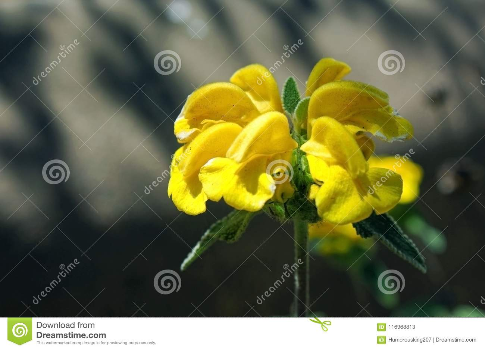 Yellow Jerusalem Sage Flower Stock Image Image Of Sage California