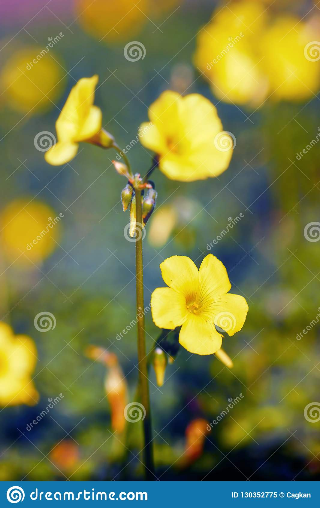 Yellow Jessamine Flowers In The Wilderness Stock Image Image Of