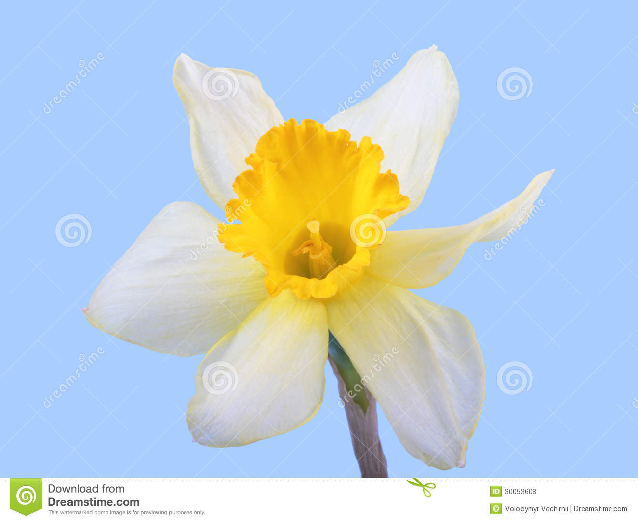 Yellow Jonquil Flower Royalty Free Stock s Image