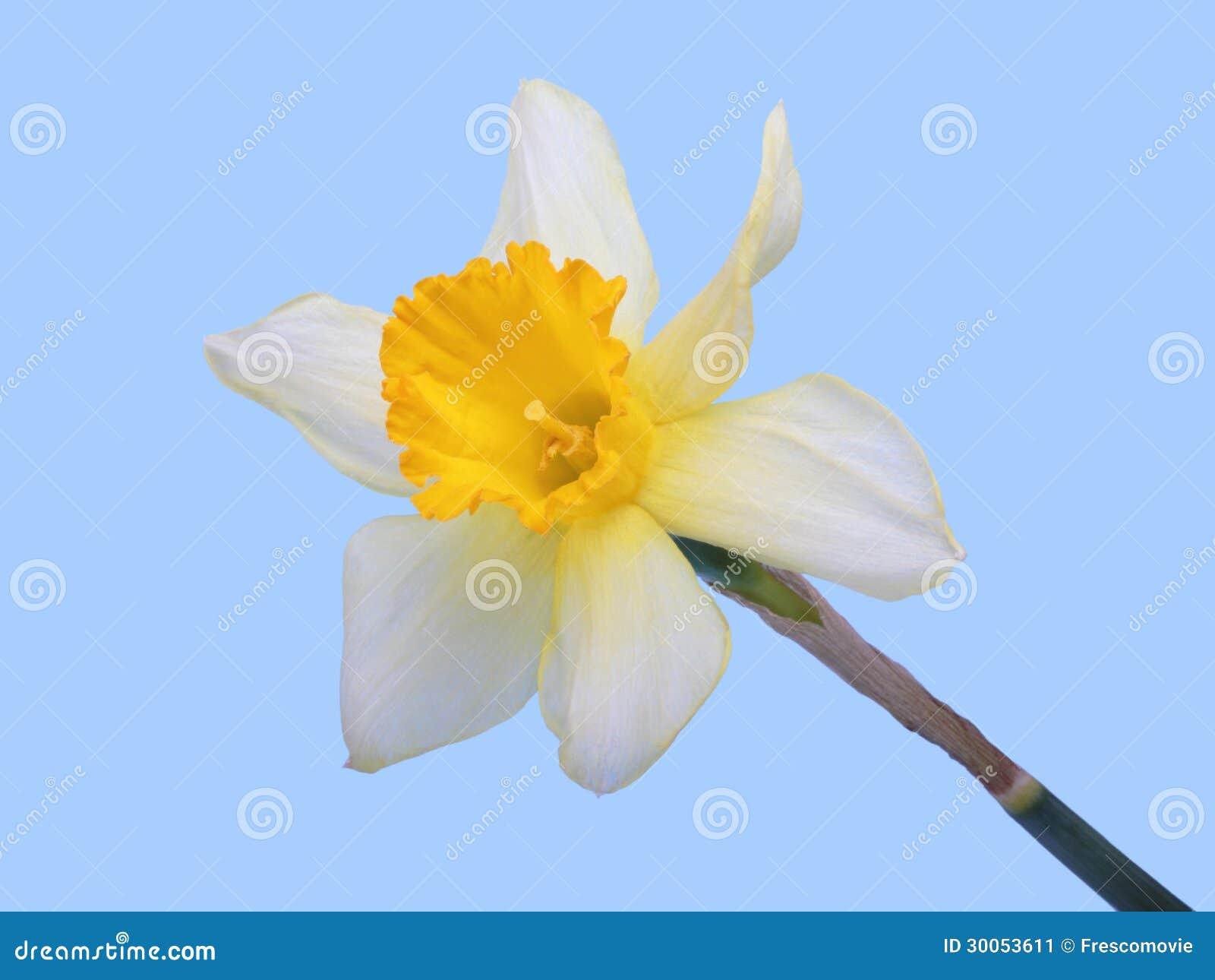 Yellow Jonquil Flower Stock Image Image